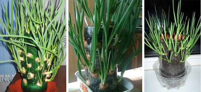 выращиваем зеленый лук в пластиковой бутылке