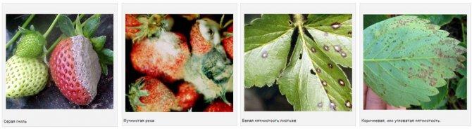 Выращивание и уход за клубникой